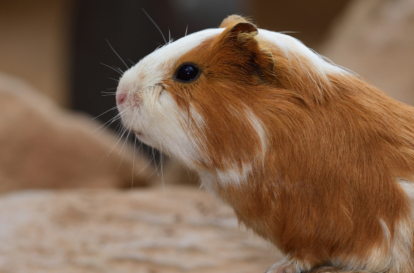Picture for category Other - Guinea Pig, Rat