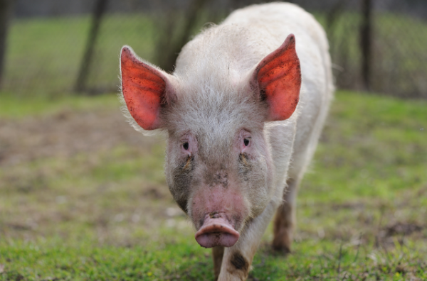 Picture for category Pig
