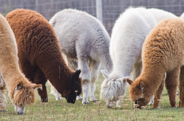Picture for category Sheep, Goat, Alpaca